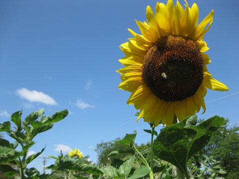 2012-07-31_Sunflower